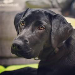 Labrador (p.huerth) Tags: labrador hund haustier fotografieanfänger schwarzerhund nikond3400 hobbyfotografie tierfotografie
