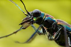 Escarabajo Tigre (Cicindelinae) (Javier Chiavone) Tags: argentina buenosaires canon7dii cicindelinae coleoptera escarabajotigre mpe65 macrofotografía macrophotography naturaleza tigre nature