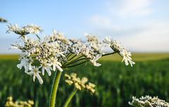 Beautiful Stranger (Dino Fonović) Tags: flowers flower free freedom spiritual spirit spring day sky grass white field