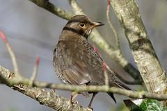 Blackbird Dundalk (FergalSandra) Tags: dundalk louth ireland blackbird