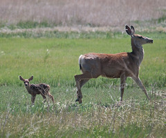Mule Deer-8 (trdunn) Tags: muledeer colorado weldcounty wildlife animal easternplains nature doe fawn spring
