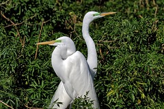 Red Eye, Green Eye (explore 1/30/19) (Darts5) Tags: greategret grayheron greategrets egret egrets eyes bird birds matingseason mating matingpair nature animal nesting 7d2 7dmarkll 7dmarkii 7d2canon ef100400mmlll closeup canon7d2 canon7dmarkii canon7dmarkll canon canonef100400mmlii wadingbird wadingbirds