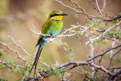 Swallow tailed Bee-eater - Merops hirundineus (Manon van der Lit) Tags: afrika africa uganda oeganda murchison national park wildlife safari gamedrive swallowtailedbeeeater meropshirundineus green colors