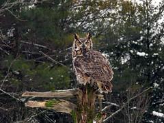 Oliver Great Horned Owl CRC IMG_2832 (Jennz World) Tags: ©jennifermlivick canadianraptorconservancy vittoria ontario canada greathornedowl owl bird raptor snow winter