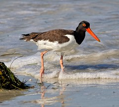 Doesn't Eat Oysters (Darts5) Tags: oystercatcher oystercatchers oyster americanoystercatcher bird birds animal nature wadingbird wading wadingbirds seabird sea seashore 7d2 7dmarkll 7dmarkii 7d2canon ef100400mmlll closeup canon7d2 canon7dmarkii canon7dmarkll canon canonef100400mmlii