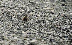 On My Own (Longleaf.Photography) Tags: iceland duck bird solo solitary self independent wildlife young youth beach