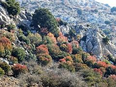 Colourful mountain slope. (Ia Löfquist) Tags: crete kreta hike hiking vandra vandring walk walking wander autumn höst colour color färg bush buske tree träd leaf löv