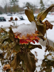 "Last Zinnia in First Snow (Batya7, ""JustHavingFun"") Tags: zinnia snow flower dead winter garden baltimore plant blossom dying crystals deadhead flowers yard bloom"