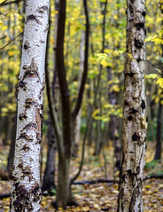 Silver birch (Wouter de Bruijn) Tags: fujifilm xt2 fujinonxf56mmf12r tree trees birch silver white silverbirch forest fall autumn autumnal leaves leaf bokeh depthoffield westhove manteling oostkapelle veere walcheren zeeland nederland netherlands holland dutch outdoor