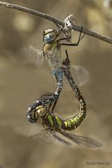 Aeshna mixta. Pair (Ricardo Menor) Tags: odonatos odonata anisópteros libélulas dragonfly dragonflies airelibre iluminaciónnatural canon60d insecto macrofotografía fuentedelchopo2018 fuentedelchopo 2018 apareamiento cópula pair mating aeshnamixta