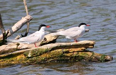 Common Tern 150518 (1) (Richard Collier - Wildlife and Travel Photography) Tags: birds wildlife naturalhistory nature terns commontern danubedelta naturethroughthelens