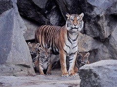 We are Family (pianocats16) Tags: tiger baby babies cute cubs tierpark berlin