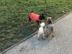 Nikky & friends (Kay Harpa) Tags: femaledog redcoat neighbour walk ivryparis thebiggestgroup