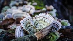Pinnacle Mountain Mushroom-1 (issafly) Tags: mushroom nikon nikond5100 nature 1855mm nikkor1855mm arkansas pinnaclestatepark