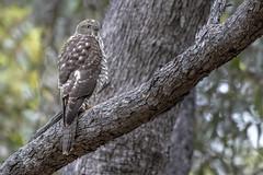 Brown Goshawk 2018-12-17 (7D_182A3273) (ajhaysom) Tags: browngoshawk accipiterfasciatus woodlandshistoricpark greenvale canoneos7dmkii tamron150600mmf563divcusdg2 australianbirds melbourne australia