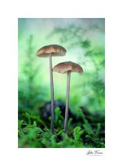 Wandering Around (g.femenias) Tags: mushrooms fungi moss nature naturallight ambient ambientphotography macro macrophotography pedreres bonany petra mallorca