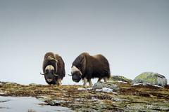 Boeuf musqué (Photolys) Tags: boeuf musqué animal norvège neige mammal wild mammifère norway montagne mountain boeufmusqué sauvage troupeau scandinave nature muskox flock scandinavian