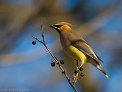 Silky Smooth (Doug Scobel) Tags: cedar waxwing bombycilla cedrorum wild bird silky smooth feathers nature