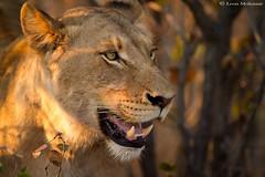 Sunny lioness (leendert3) Tags: leonmolenaar southafrica krugernationalpark wildlife nature mammals africanlion ngc npc
