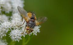 Schwebefliege (Syrphidae) (Konrads Bilderwerkstatt) Tags: fliege schwebefliege tier haar auge füsse fuss fluginsekt natur umwelt sony alpha 77 m2 guido konrad