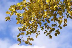 Glanzmispel, Scharlach- / Christmas berry (Photinia villosa) (HEN-Magonza) Tags: botanischergartenmainz mainzbotanicalgardens herbst autumn flora rheinlandpfalz rhinelandpalatinate deutschland germany scharlachglanzmispel christmasberry photiniavillosa