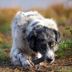 Bente (Ineke Klaassen) Tags: bente dog perro perra chien hund dogs hond honden portrait portret dierenportret dierenfotografie dierenfoto huisdier huisdieren pet pets playing sony sonyimages sonya6000 sonyalpha sonyalpha6000 sonyilce6000 ilce outdoor animal animals fauna dier dieren buiten 1025fav 20faves 20fav 20favs 300views