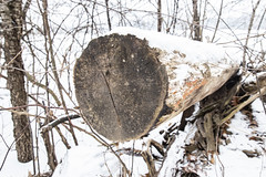 Cold, Snowy Days (A Great Capture) Tags: agreatcapture agc wwwagreatcapturecom adjm ash2276 ashleylduffus ald mobilejay jamesmitchell on ontario canada canadian photographer northamerica kingcity king township woods trees tree arbre forest wald árvore branch branches cold snow weather snoy winter 2018 envs3710 fallen wood trunk