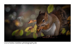 the beast! (H. Roebke) Tags: 2018 autumn de canon5dmkiv herbst squirrel nature fall natur animal altglas stadtpark tierwelt forest carlzeissbiometarf28120mm hannover tierpark eichhörnchen fauna vintagelens tiere wald coth greatphotographers coth5