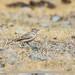 Hume's Lark (Calandrella acutirostris)