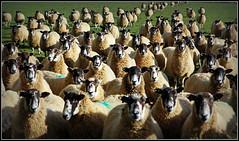Where`s Woolly? (Jason 87030) Tags: sheep tag animal wool jumper woolly wally where peekaboo hide hiding creature farm countryside ba baa baaa baaaa baaaaa oldmcdonald field food farming uk swabridge januyary baaaaaaaa eyes face hunger fleece agriculture land england