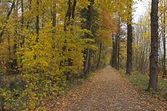 Edge of the autumn forest / Herbstlicher Waldrand (Manfred_H.) Tags: nature plants pflanzen trees bäume wald forest way weg