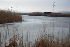 Sula Mörbischis (anuwintschalek) Tags: nikond7000 d7k 18140vr austria burgenland mörbisch mörbischamsee neusiedlersee seebadmörbisch see järv lake talv winter january 2019 sula thaw tauwetter kõrkjad reeds schilf