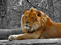 King of the Zoo (George Neat) Tags: lion animals wild ppg aquarium pittsburgh pgh zoo allegheny county pa pennsylvania georgeneat patriotportraits