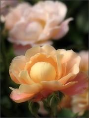(Tölgyesi Kata) Tags: nemzetibotanikuskert vácrátótibotanikuskert botanikuskert botanicalgarden withcanonpowershota620 vácrátót rosen rosa rose rózsa flower fleur virág summer nyár macro