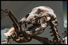 Anthropos - Brno 2018 (13) (***RM***) Tags: anthropos prehistorický pravěk vykopávky ancestors indoor southmoravia statl museum brno nikon d850 nikkor 2470mm exhibition artefacts history prehistorical czechrepublic czechia bohemia moravia zdeněk burian