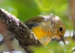 American Redstart - Fledgling (Douglas M. Winn) Tags: bird songbird warbler americanredstart fledgling fortsnelling setophagaruticilla