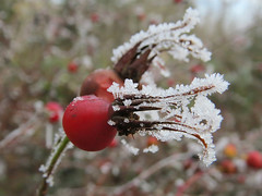 Frosty Rose Hips (Shelley Penner) Tags: frost webbing spiderwebs naturesjewelry rosehips red