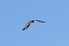 Rough-legged Buzzard at Skeie S24A0468 (grebberg) Tags: skeie klepp rogaland norway 2018 november bird roughleggedbuzzard buteolagopus buteo birdofprey raptor buzzard