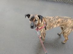 Lucinda the dog (jcravens) Tags: brindle greyhound mix mutt rescue dog canine pet