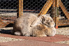 Loafing in the sunshine (eveliensbunnypics) Tags: bunny rabbit lop lopeared polly outdoor outside backyard patio sun sunshine sunbathing loaf loafing dewlap pleats pleaty fence