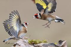 Chamaillerie entre chardonnerets élégants (sfrancois73) Tags: oiseau faune affût chardonneretélégant drinkstation jardin