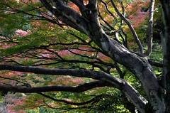 autumn in Tokyo, Japan (Plan R) Tags: leaves tree autumn fall nikon d7000