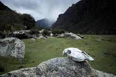Unwelcoming (Aymeric Gouin) Tags: peru pérou southamerica valley vallée nature skull crane os bone dof moody sombre dark landscape paysage paisaje landschaft travel voyage fujifilm xt2 aymgo aymericgouin huascaran