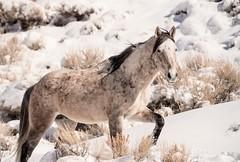 freedom on the open range... (Alvin Harp) Tags: mountmontgomerypass nevada us6 february 2019 wildhorses stallion openrange americanwest naturesbeauty blm sonyilce9 fe70200mmf28 gmoss2x winterwildlife alvinharp