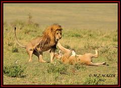 TENSE MOMENT BETWEEN THE KING OF JUNGLE AND THE LIONESS  (Panthera leo)....MASAI MARA....SEPT 2017 (M Z Malik) Tags: nikon d3x 200400mm14afs kenya africa safari wildlife masaimara keekoroklodge exoticafricanwildlife exoticafricancats flickrbigcats lionking leo pantheraleo lioness ngc npc