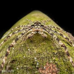 Lichen huntsman (Pandercetes sp.) - DSC_0702 (nickybay) Tags: singapore mandaitrack7 mandai macro cctv wide angle sparassidae huntsman spider lichen pandercetes