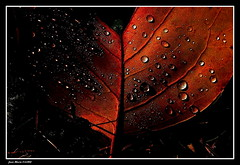 Perles.... (faurejm29) Tags: faurejm29 canon campagne nature feuille sigma jardin