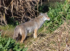 Coyote (Ed Sivon) Tags: america canon nature lasvegas wildlife wild western southwest desert clarkcounty vegas flickr henderson nevada