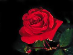 red rose (Christine_S.) Tags: macro garden nature olympus flower blossom omd mirrorless outdoor blackbackground rose explore