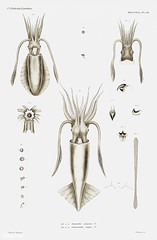 Squid varieties vintage poster (Free Public Domain Illustrations by rawpixel) Tags: animal antique aquatic art augustus augustusaddisongould bigfinreefsquid book bundle cc0 collection creativecommons0 creature decor decoration design different drawing expedition free gould illustration images life marine mediterranean molluscashells name nautical northatlantic ocean old ommastrephes ommastrephesinsignis ovalsquid painting picture poster print publicdomain science scientific scientificexpeditions sea seafood set species squid various vintage zoology